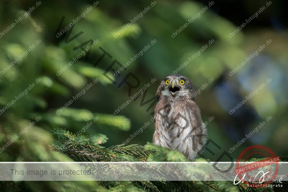 Junger Sperlingskauz, kurz, nachdem er seine Bruthöhle verlassen hatte