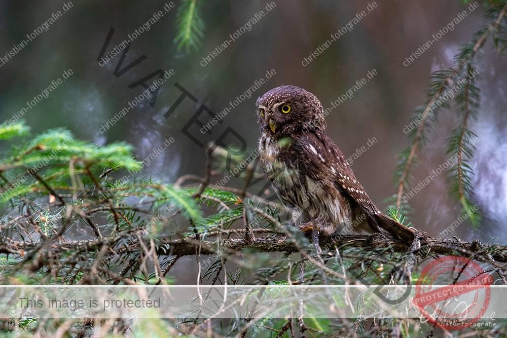 Sperlingskauz glaucidium passerinum pigmy owl